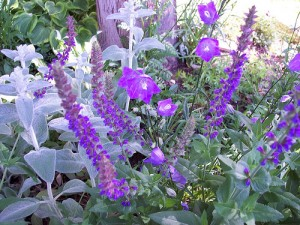 Juffa,Juffa leaves ,Hyssop Officinalis,herbs,plant extracts